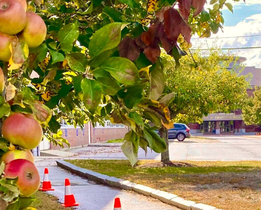 Apple tress on NHTI campus