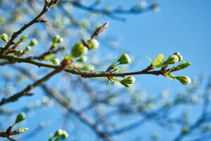 NHTI spring reopening forum - spring blossoms on tree branch